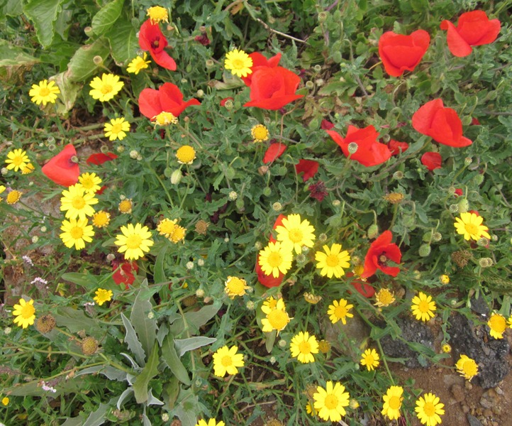 Yellow_daisies_and_red_poppies